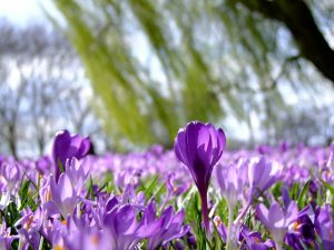 flowers_crocus_spring_park_d_sseldorf_sea_of_flowers_rheinpark_rhine_meadow-1415450