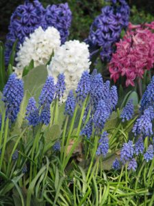 muscari_hyacinthus_grape_hyacinth_hyacinth_springtime_flower_blue_bulbs-1056329