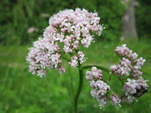 valeriana_officinalis_garden_valerian_garden_heliotrope_all_heal_wildflower_flora_botany_plant-707490