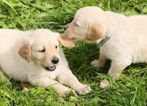 dogs_puppies_play_two_group_in_the_free_nature_pet-652302